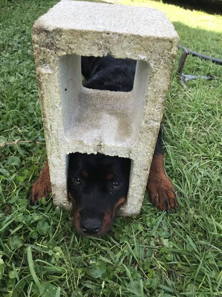 rottweiler puppy trapped