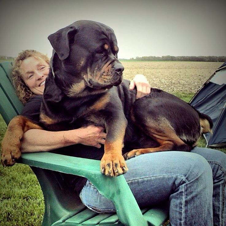 facts about Rottweilers that would make you fall in love with them