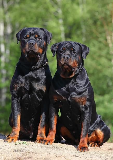 aren't Rottweilers just the best breed ever