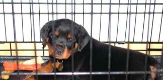 crate training your Rottweiler