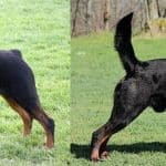 docking a Rottweiler's tail