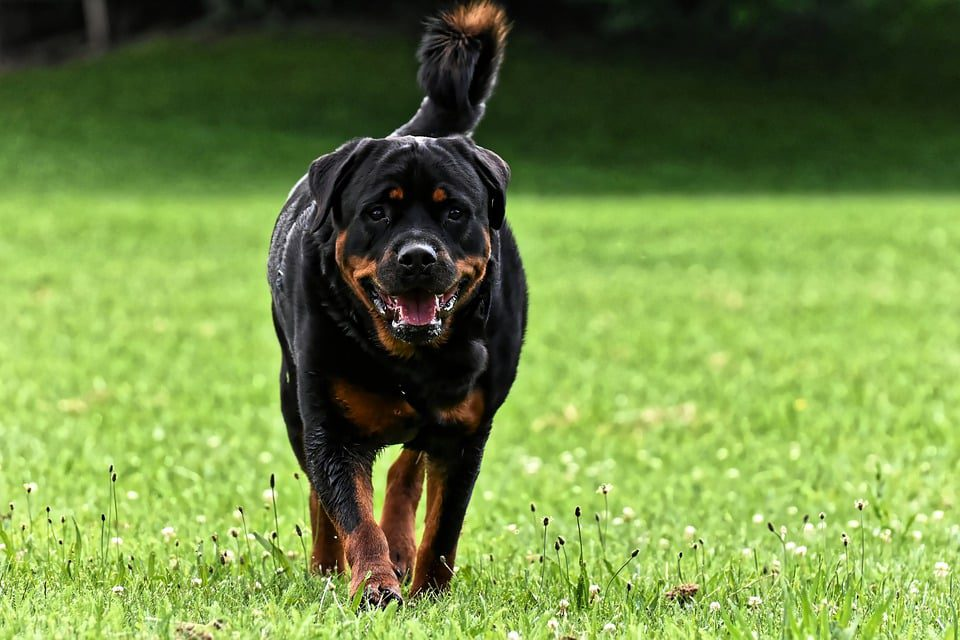 Long-tailed Rottweiler