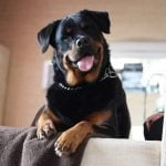 wrong impressions about Rottweilers