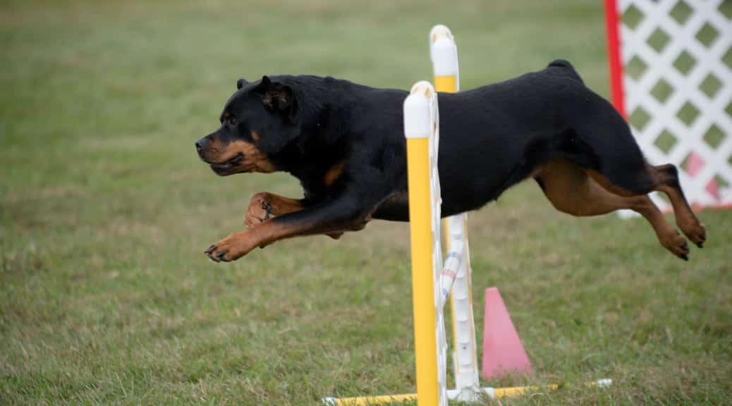 Agility training for your Rottie
