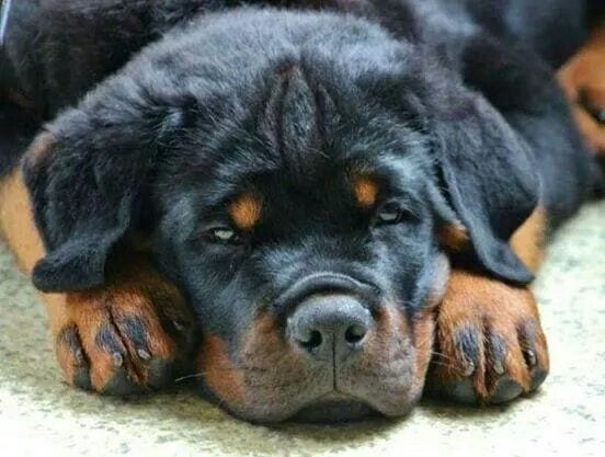 Rottweilers are the best dogs