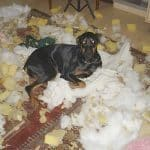 Rottweiler's anxiety levels down