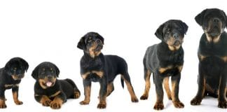 growing Rottweiler
