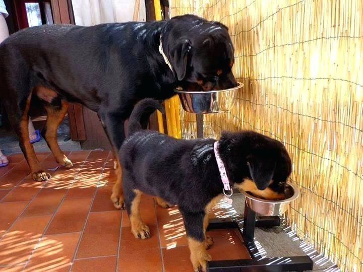 food for Rottie