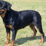 fun facts about rottweilers