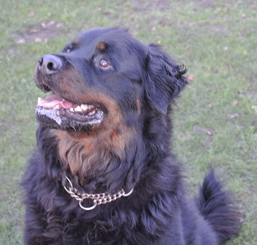 long-haired Rottweiler