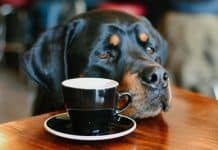 healthy diet for your Rottweiler