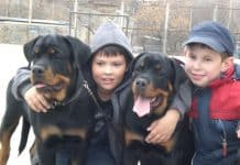 Red Rottweiler family dogs