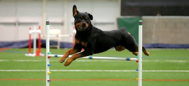 obstacle training for your rottweiler