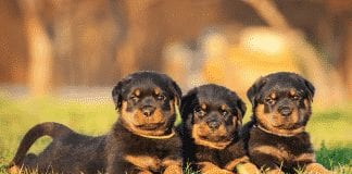 German Rotties
