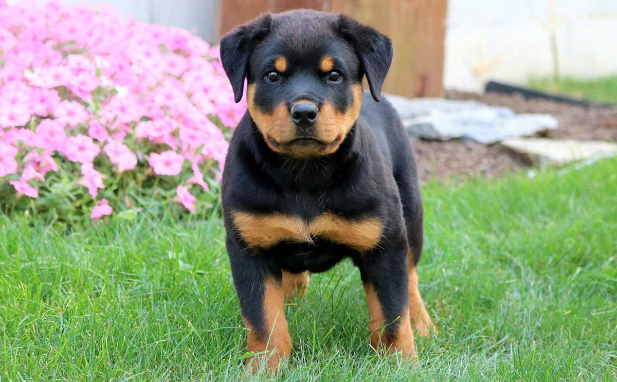 rescued Rottweiler