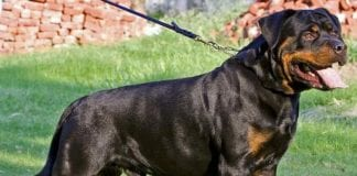 Rottweiler dogs price