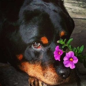 Rottweiler owners