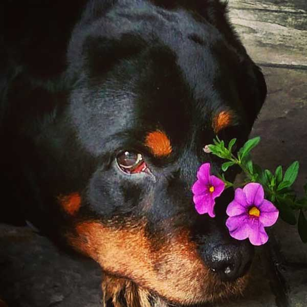 Rottweilers Owners