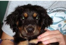 Rottweiler and Chow Mix