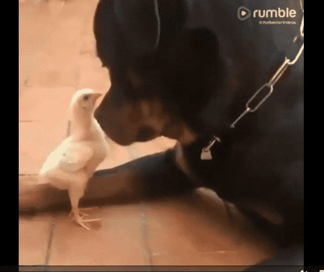 baby chick and a rottweiler