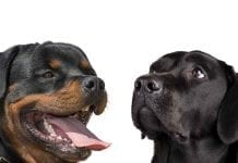 Rottweilers and Labradors