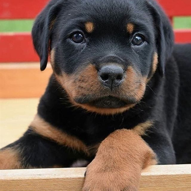 14 Facts Rottweiler Owners Understand Better Than Anyone