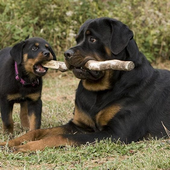 Rottweiler and son