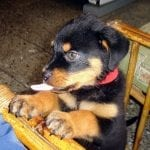 hungry-rottweiler-puppy