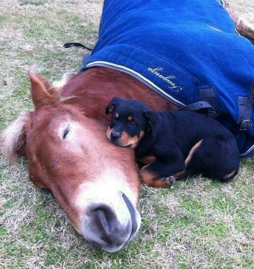 rottweiler with a horse