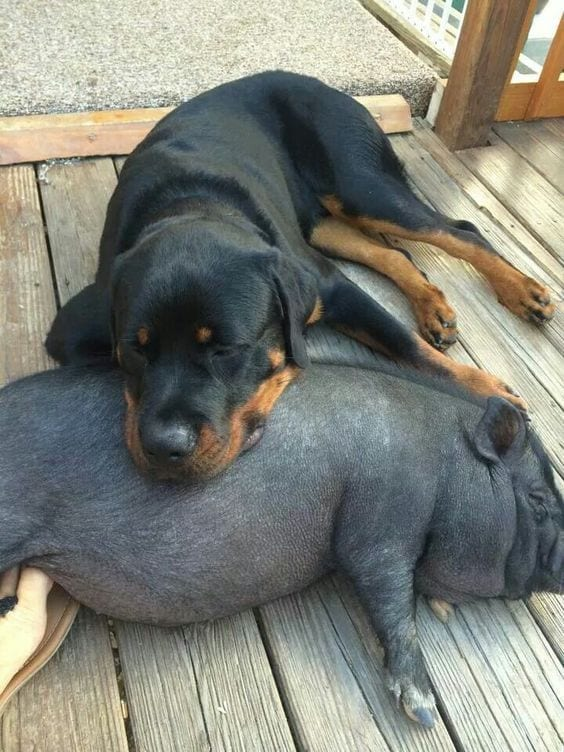 rottweiler and pig