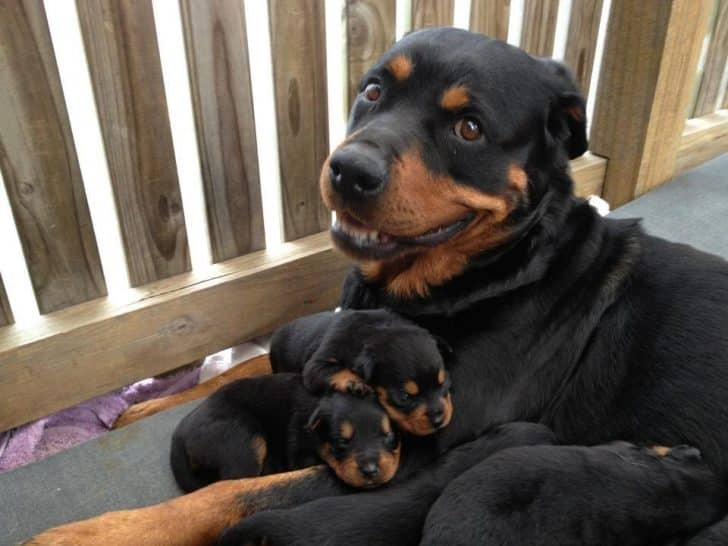12 Photos Prove Rottweiler Is The Worst Dog Breed Ever