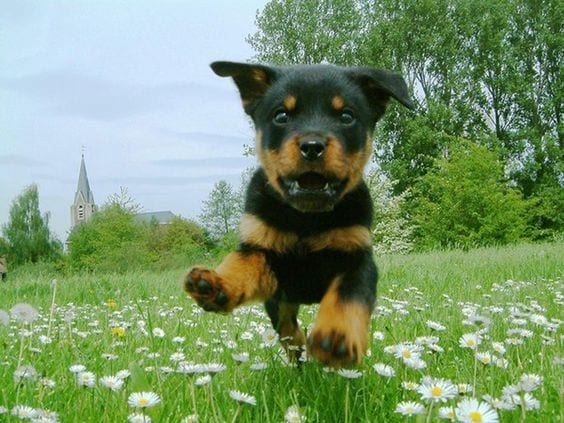 Rottweilers Are Flying Dogs