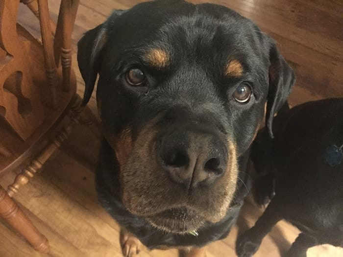 14 Signs Prove Rottweilers Are Plotting Your Murder