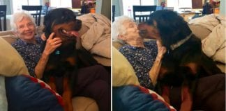 Huge Rottweiler Wins Over Grandma