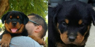 Cuddle Your Rottweiler