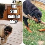 Charming Rottweilers That Just Want To Play