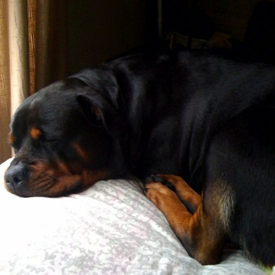 Rottweiler Fully In Charge