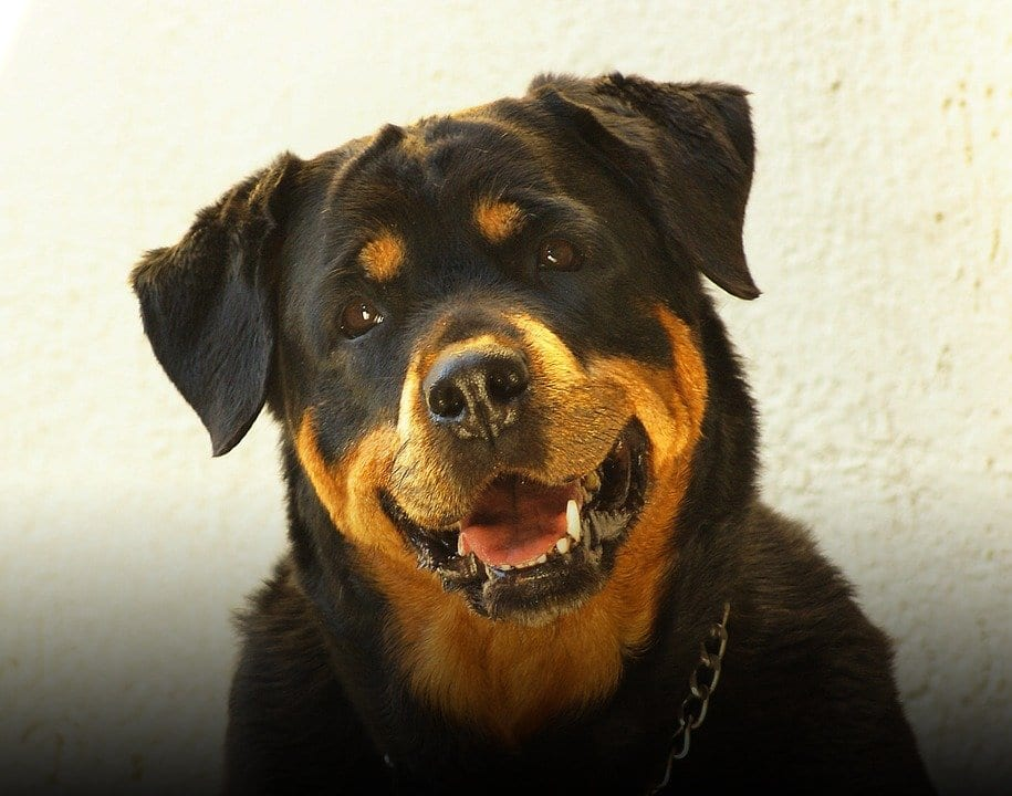 Conquer Your Rottweiler
