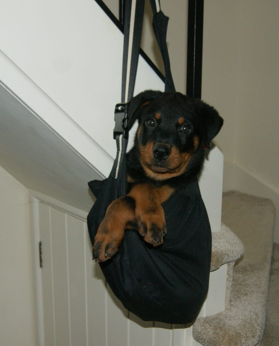 Things We Do As Rottweiler Parents