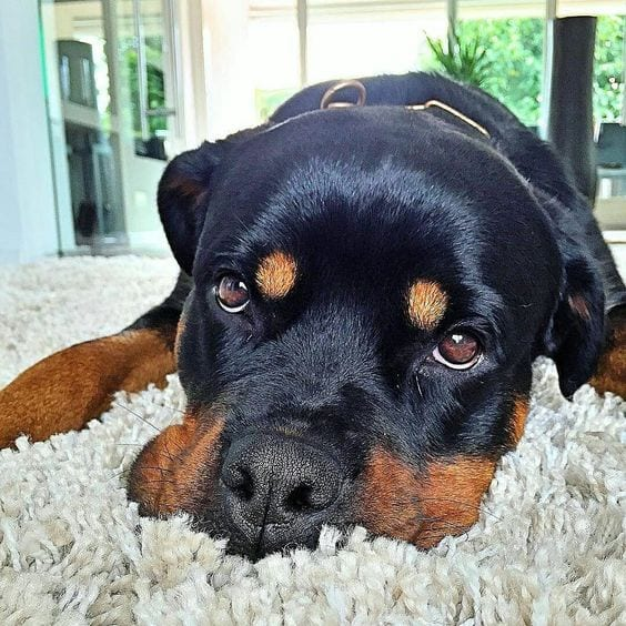 Rottweiler Wants to Tell You