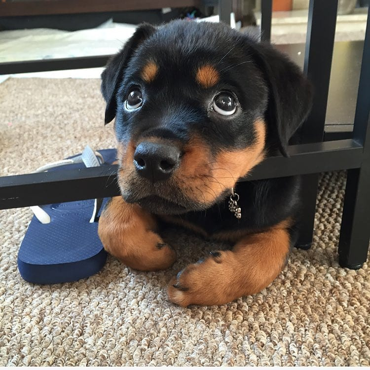 Rottweiler is Taking Over the House