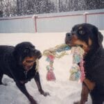 Charming Rottweilers 2