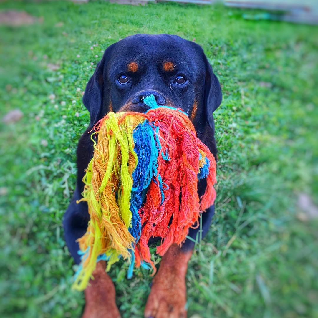Charming Rottweilers