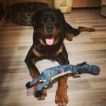 Charming Rottweilers 9