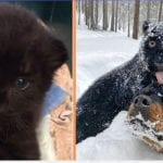 Panther Abandoned By Its Mother Grows Up With A Human And Rottweiler Best Friend